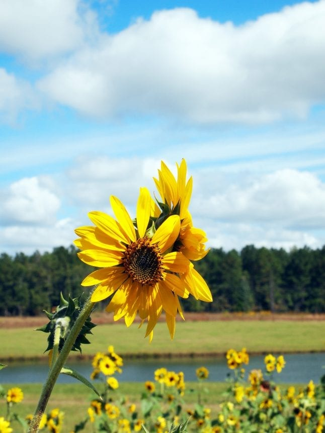 Sunflowers remind families of fall.