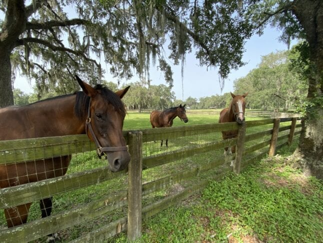 Horses on a horse farm in Ocala, Florida