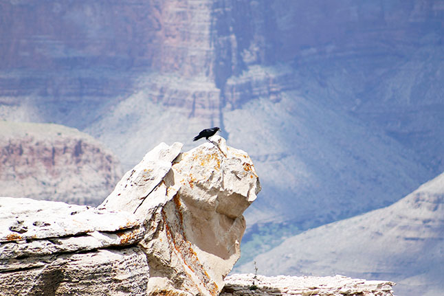 Black crow on a ledge at the Grand Canyon